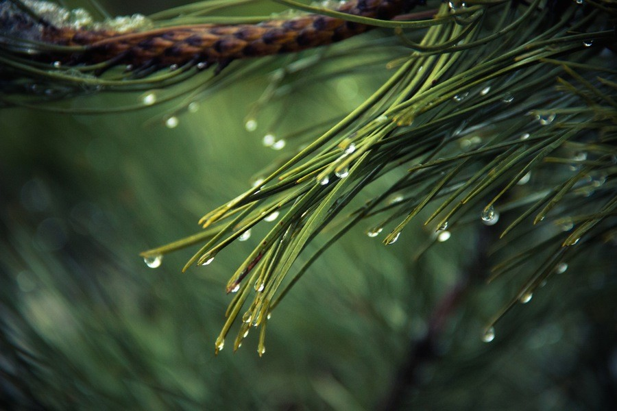 Nature Pine Raindrops drops of water